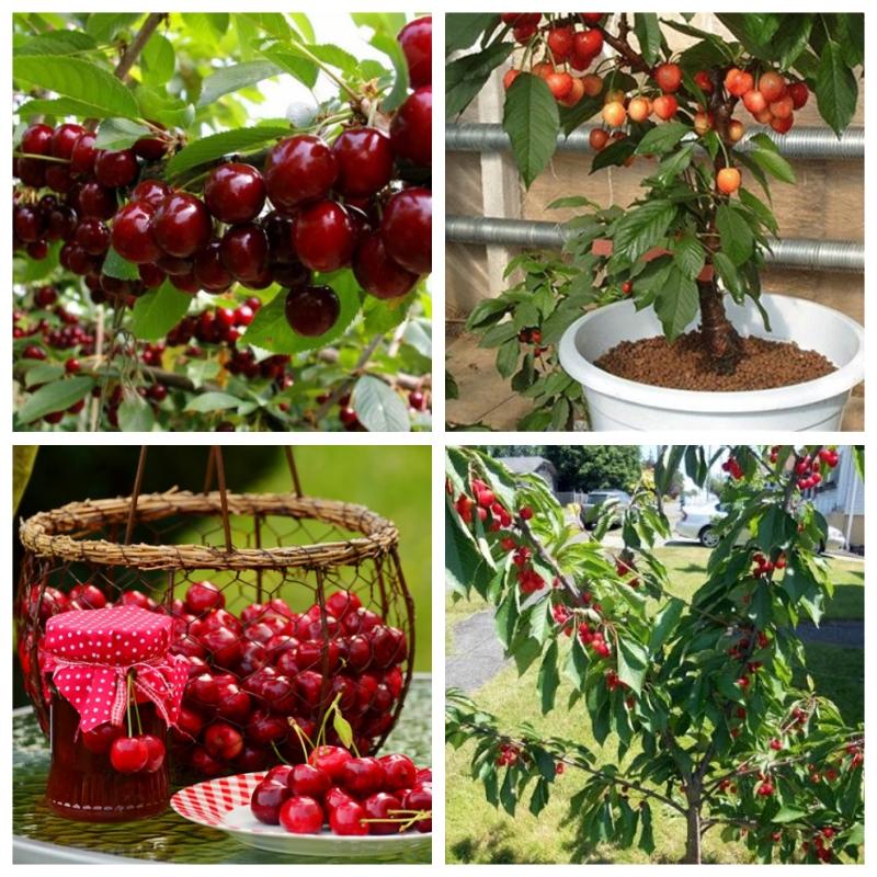 Cây cherry giống