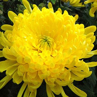 Hoa cúc giống