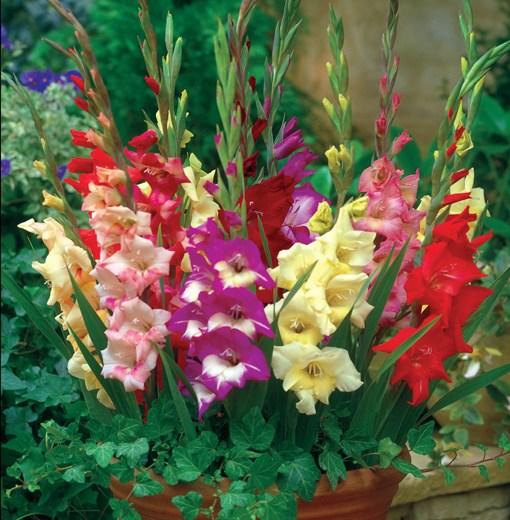 Hoa lay ơn giống