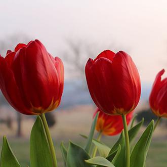 Hoa tulip giống