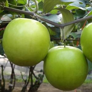 Giống táo đại