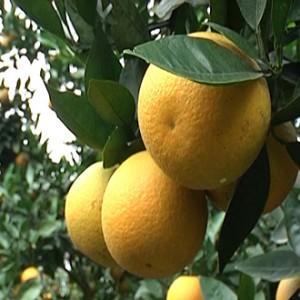 Giống cây cam c36