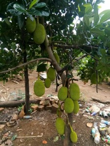 Giống cây mít Thái