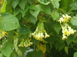 Giống hoa Thiên Lý