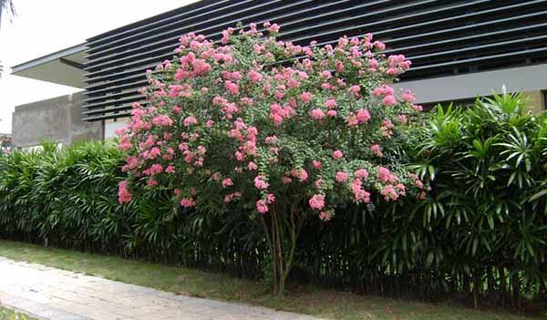 Giống hoa tường vi